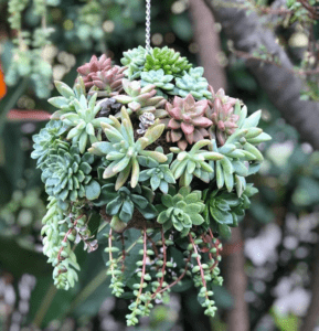 jellyfish succulents tentacles