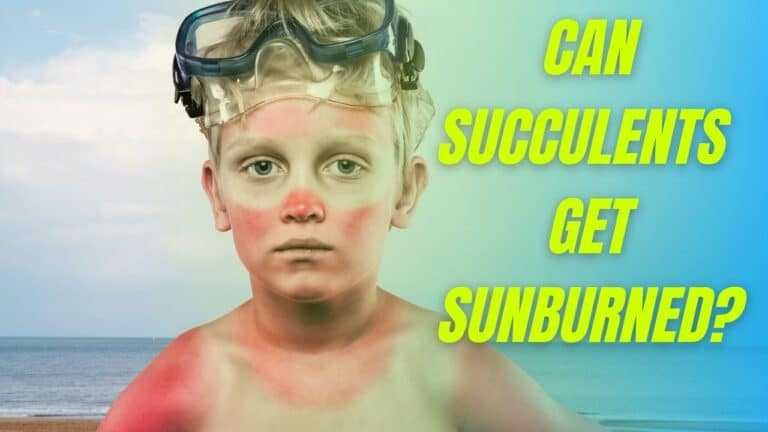 How to heal sunburned succulents and How much sun do succulents need?