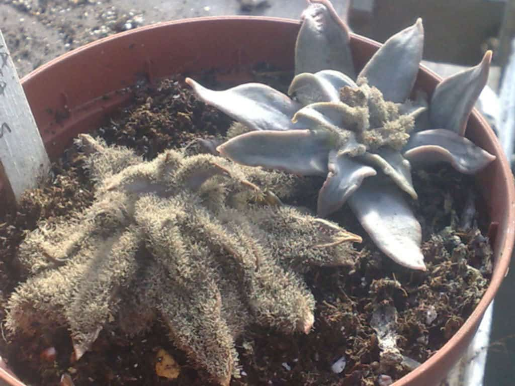Grey mold (succulent pests & diseases)