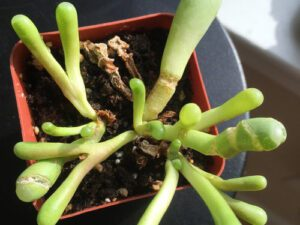 Baby Toes Succulent cracking