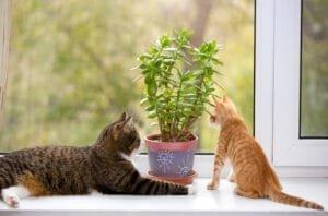 Succulents poisonous to cats- Crassula Ovata