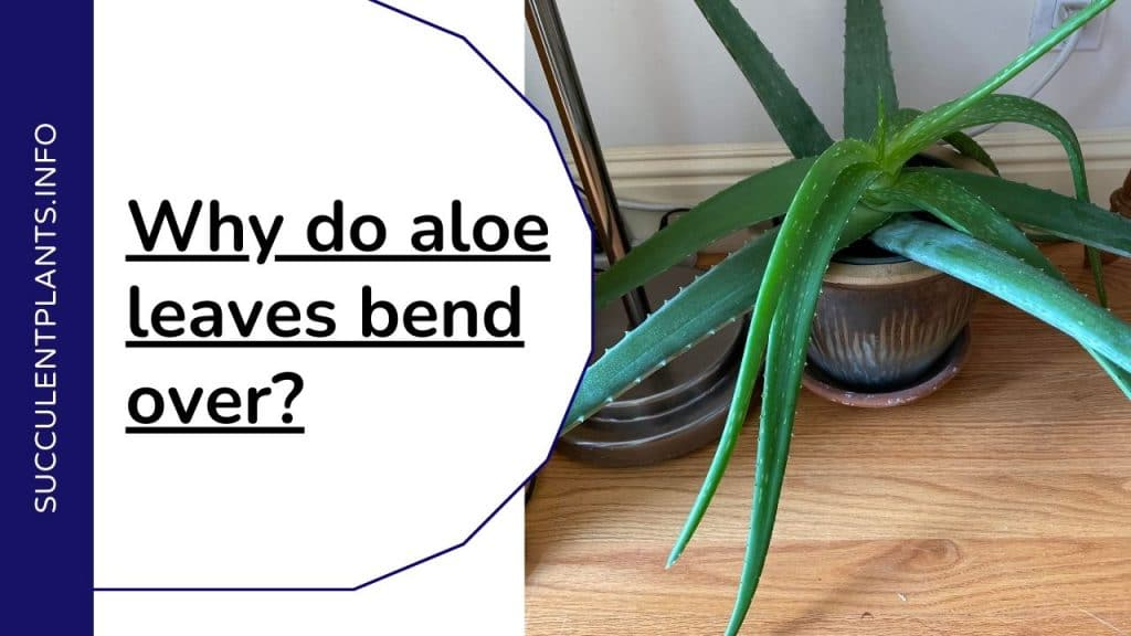 Why do aloe leaves bend over?